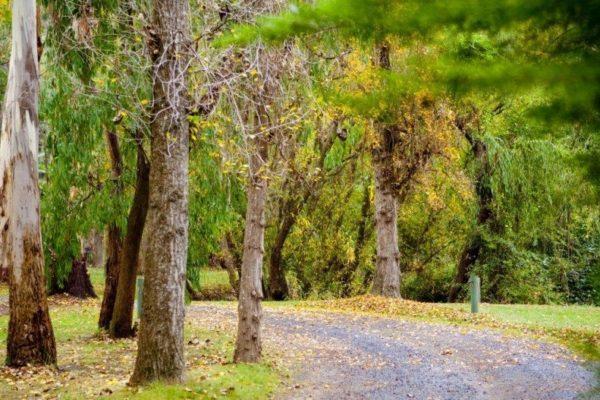 Poplars lining the driveway